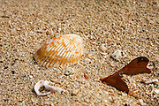Seashell on the shore of St Croix, US Virgin Islands