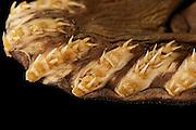 Frilled shark (Chlamydoselachus anguineus) Picture was taken in cooperation with the Zoological Museum University of Hamburg | Kragenhai (Chlamydoselachus anguineus) Das Bild entstand in Zusammenarbeit mit dem Zoologischen Museum Hamburg (ZMH); ZMH 119554 (ISH 3361-1979); 25.06.1979; 7°38'W, 47°46'N; Trawl survey Walther Herwig, 306/79, 200' BT; 729m