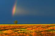 Rainbow, canola crop and  cottonwood tree<br />DUgald<br />Manitoba<br />Canada