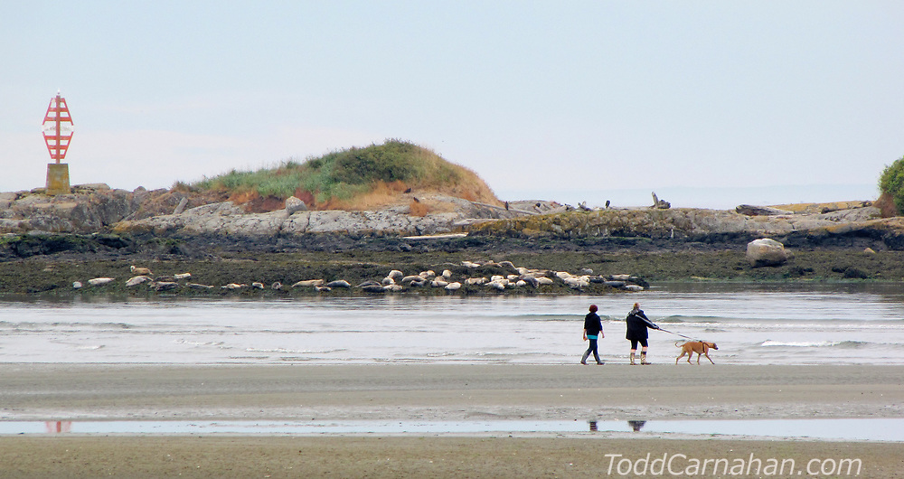 Observing Harbour Seals from Witty's Beach in Metchosin