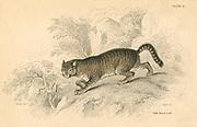 European Wild Cat (Felis silvestris).  From 'British Quadrupeds', W MacGillivray, (Edinburgh, 1828), one of the volumes in William Jardine's Naturalist's Library series. Hand-coloured engraving.
