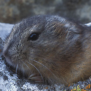 Collared Lemming (Dicrostonyx groenlandicus) Emerging out of hole of whale invertebrate used as shelter. Nunavut Territory. Canada.