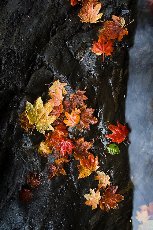 Fallen autumn leaves rest on bedrock on the bank of the Sol Duc River in Olympic National Park, Washington.
