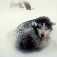 INTERNATIONAL ARCTIC PROJECT. Sled dog wakes under insulating snow after frigid sleep on frozen Arctic Ocean.