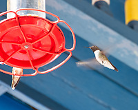 Broad-tailed Hummingbird (Selasphorus platycercus). Manitou Springs, Pike's Peak Railway, Colorado. Image taken with a Nikon D200 camera and 18-200 mm VR lens.