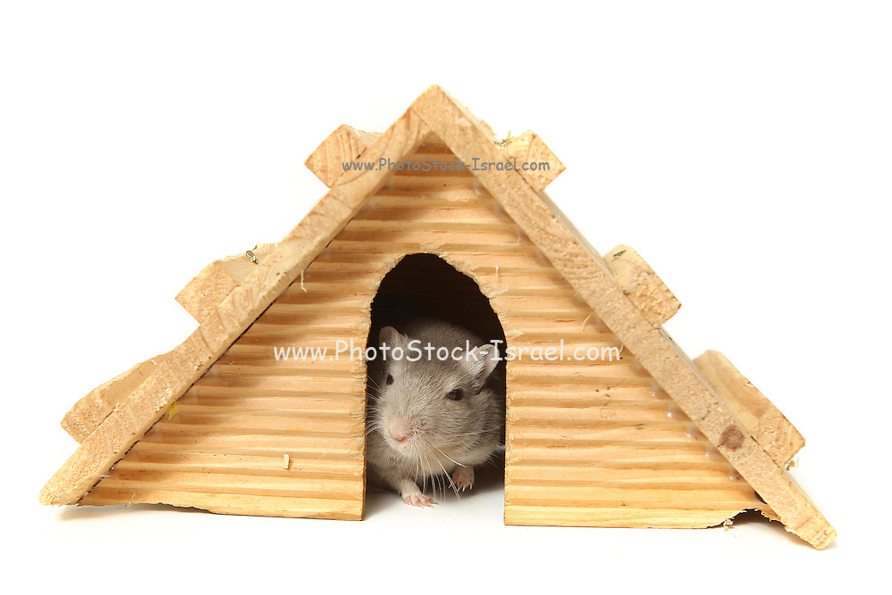 Humour. Successful mouse living in a wooden house. On white Background