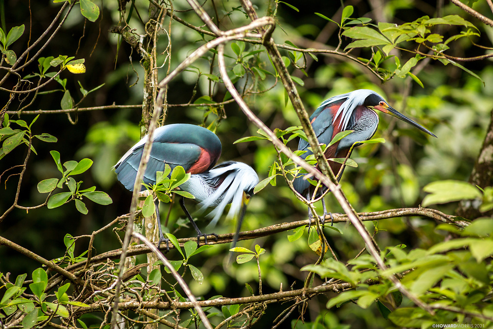 Two Agami or chestnut-bellied heron ( Agamia agami ) search for nesting material, Bladen Nature Reserve, Belize.