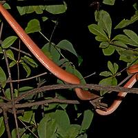 An Amazon Tree Boa<br /> (Corallus hortulanus) glides through the branches of a tree in Peru's Amazon Jungle.