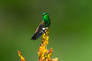 Copper-rumped Hummingbird (Amazilia tobaci). Trinidad