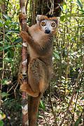Male of crowned lemur (Eulemur coronatus) at Palmarium, eastern Madagascar.