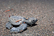 olive ridley sea turtle hatchling, Lepidochelys olivacea,  Playa Ostional, Costa Rica ( Eastern Pacific )