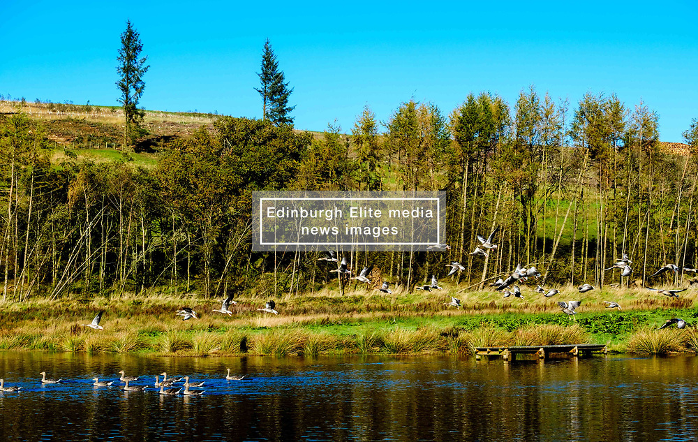 A flock of geese arrive at a little man made lochan in Dumfries and Galloway near the A702 at Glencairn Parish Church<br /> <br /> (c) Andrew Wilson | Edinburgh Elite media