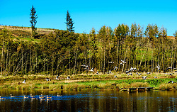 A flock of geese arrive at a little man made lochan in Dumfries and Galloway near the A702 at Glencairn Parish Church<br /> <br /> (c) Andrew Wilson   Edinburgh Elite media