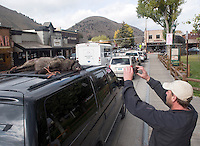 Pedestrians stop to photograph a dead wolf on top of a truck parked at the Jackson Town Square on Thursday. The owner of the truck, Bill Addeo, of Hoback, said he'd shot the wolf in the predator zone near Bondaurant while elk hunting that morning and brought the animal to Jackson so Wyoming Game and Fish officials could collect a DNA sample.