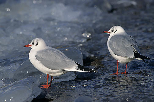 Black-headed Gull, (Larus ridibundus) In winter plumage. Japan.