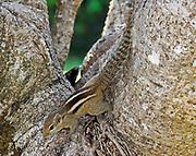 Palm squirrel or three striped squirrel walking along a tree trunk, Bundala National park, Sri Lanka