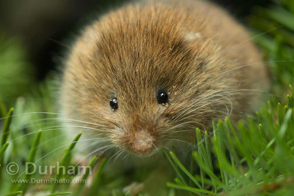 A female red tree vole (Arborimus longicaudus) among Douglas fir needles. Red tree voles are rarely seen. They are nocturnal and live in Douglas fir tree tops and almost never come to the forest floor.  They are one of the few animals that can persist on a diet of conifer needles which is their principle food.  As a defense mechanism, conifer trees have resin ducts in their needles that contain chemical compounds (terpenoids) that make them unpalatable to animals.  Tree voles, however, are able to strip away these resin ducts and eat the remaining portion of the conifer needle. Note the parasitic mites around the eye.