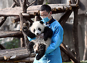 CHENGDU, CHINA <br /> <br /> Giant Panda cub waves <br /> <br /> Giant panda cub Qi Yi climbs at Chengdu Research Base of Giant Panda Breeding in Chengdu, Sichuan Province of China. A video footage of 7-month-old giant panda Qi Yi clinging to the keeper's leg at the Chengdu Research Base of Giant Panda Breeding went viral online. <br /> ©Exclusivepix Media