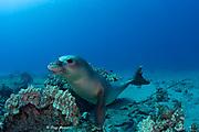 Hawaiian monk seal ( Neomonachus schauinslandi ) yearling female ( critically endangered species ) with flipper tag on coral reef at Mahukona, Kohala, Hawaii Island ( the Big Island ) Hawaiian Islands ( Central Pacific Ocean )