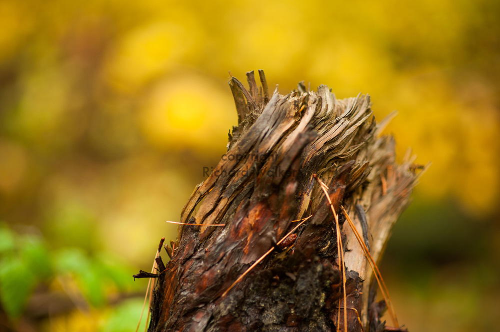 2017 NOVEMBER 20 - Autumn dead stump of tree at Lincoln Park in West Seattle, WA, USA. By Richard Walker