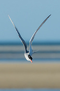 A common tern dives for prey at Paine's Creek Beach