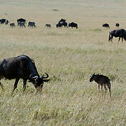 Wildebeest (Connochaetes taurinus) Mother with new born calf during migration in Serengeti National Park. Tanzania. Africa. February.