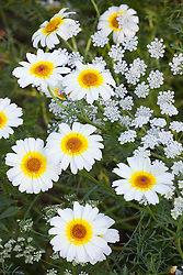 Chrysanthemum 'Eastern Star' with Ammi majus