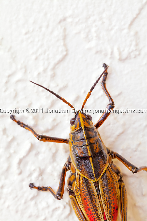A bright orange/yellow lubber grasshopper (Romalea guttata) on a wall in the Florida Everglades. WATERMARKS WILL NOT APPEAR ON PRINTS OR LICENSED IMAGES.
