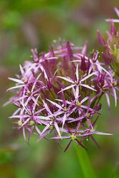 Allium cristophii syn. Allium christophii
