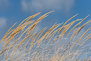 Dunegrass bends in the Lake Michigan breeze