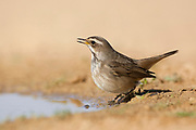 Female Bluethroat (Luscinia svecica) near a puddle of water in the desert, wintering in Negev, israel Photographed in December