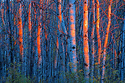 Last light on aspen trees <br />Duck Mountain Provincial Park<br />Manitoba<br />Canada