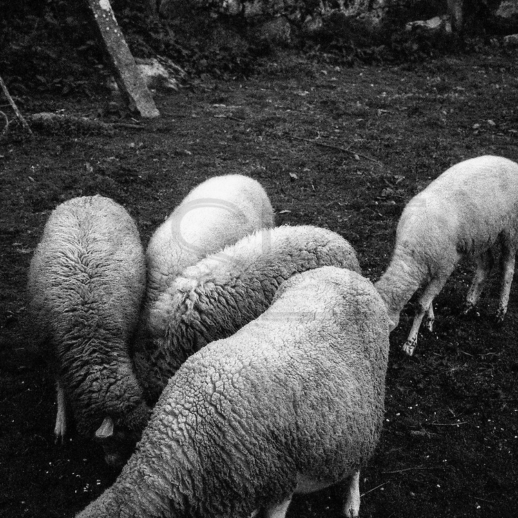 """""""sheep"""" was the codename for the illegal emigrants to cross the Minho River to """"Take the leap"""" to France in the 60's"""