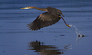 A great blue heron takes off after doing a little fishing in Normandy Park. <br /> <br /> Ellen Banner / The Seattle Times