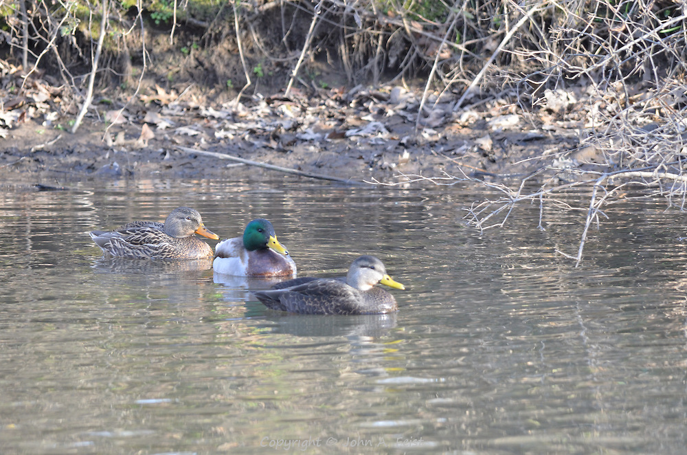 A drake and two ducks sitting in the water just off shore on the D and R Canal in Hillsborough, NJ