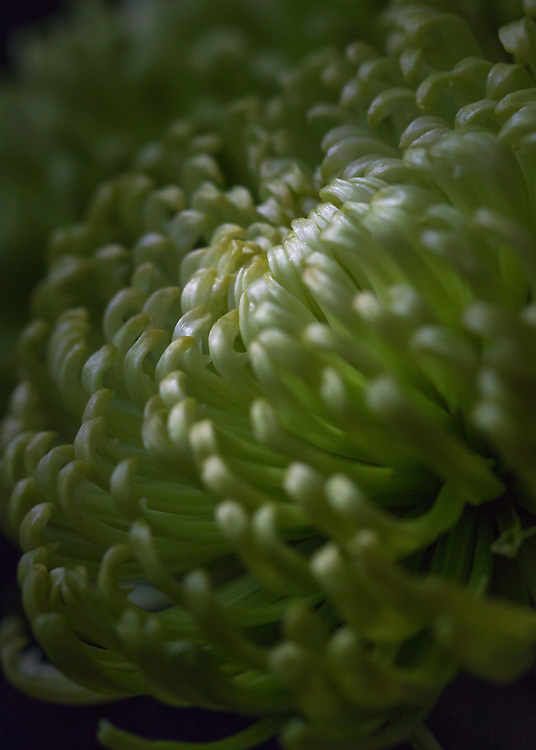 Macro floral image of a green Spider Mum.