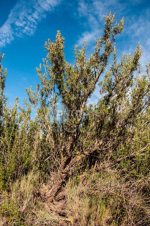 Romero (Rosmarinus officinalis). Almansa. Albacete ©Antonio Real Hurtado / PILAR REVILLA