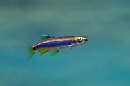 Sailfin Shiner<br /> <br /> Isaac Szabo/Engbretson Underwater Photography