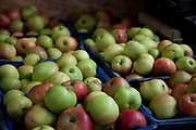 Organic apples at Organiclea urban farm in London, UK. Organiclea in Chingford, Waltham forest east London is one of London's most important urban farms. They run an organic veg box delivery scheme and the Hornbeam cafe.
