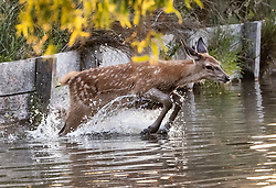 © Licensed to London News Pictures. 24/06/2020. London, UK. A young deer leaps into a stream at first light in Bushy Park, south west London. High temperatures and sunshine are expected in most of the UK over the next few days. Photo credit: Peter Macdiarmid/LNP