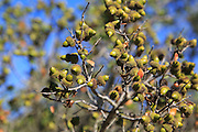 Close up of acorns on oak tree branches, Marina Alta, Spain