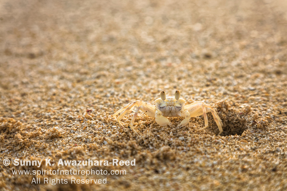 Sand Crab (Ghost Crab) comes out from burrows near the intertidal zone of sandy beaches, Bellows Field Beach Park, Oahu Island, Hawaii.