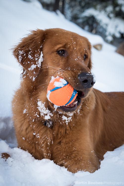 Dog (golden retriever) with ball in snow, Eldorado National Forest, California