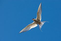 Arctic Tern (Sterna paradisaea) in flight, Spitsbergen, Svalbard