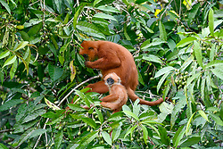 A red leaf monkey eats bangkular fruits next her baby in Danum Valley Conservation Area, on August 5, 2019 near Lahad Datu city, State of Sabah, North of Borneo Island, Malaysia. Palm oil plantations are cutting down primary and secondary forests vital as habitat for wildlife including the critically endangered red leaf monkeys. Photo by Emy/ABACAPRESS.COM