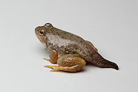 American bullfrog, Rana catesbeiana, with partial tail. Native to the Eastern United States, bullfrogs were introduced and have become established west of the Rockies. Bullfrogs are large, aggressive predators and prolific breeders, and have seriously depleted native frog populations in many areas of the West.