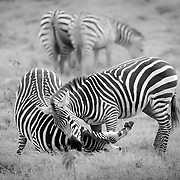 """Zebras playing in Kenya, Africa, in black and white.<br /> <br /> *For all details about sizes, paper and pricing starting at $85, click """"Add to Cart"""" below."""