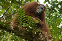 "Bornean Orangutan <br />Wurmbii Sub-species<br />(Pongo pygmaeus wurmbii)<br /><br />Unflanged adult male ""Ned""<br /><br />Gunung Palung Orangutan Project<br />Cabang Panti Research Station<br />Gunung Palung National Park<br />West Kalimantan Province<br />Island of Borneo<br />Indonesia"