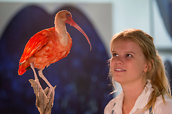"© Licensed to London News Pictures. 05/10/2018. LONDON, UK. A visitor views ""Scarlet Ibis"" by Elle Kaye, an artist who shows taxidermy as art, during Not 30%, a sub-exhibition presenting works by female artists. Opening day of The Other Art Fair, presented by Saatchi Art, which runs until 7 October in Bloomsbury.  The fair, which coincides with Frieze Week, is a collection of artworks by independent and emerging artists handpicked by a committee of art world experts.  Visitors and art buyers have the opportunity to meet the artists presenting their work at the fair. Photo credit: Stephen Chung/LNP"