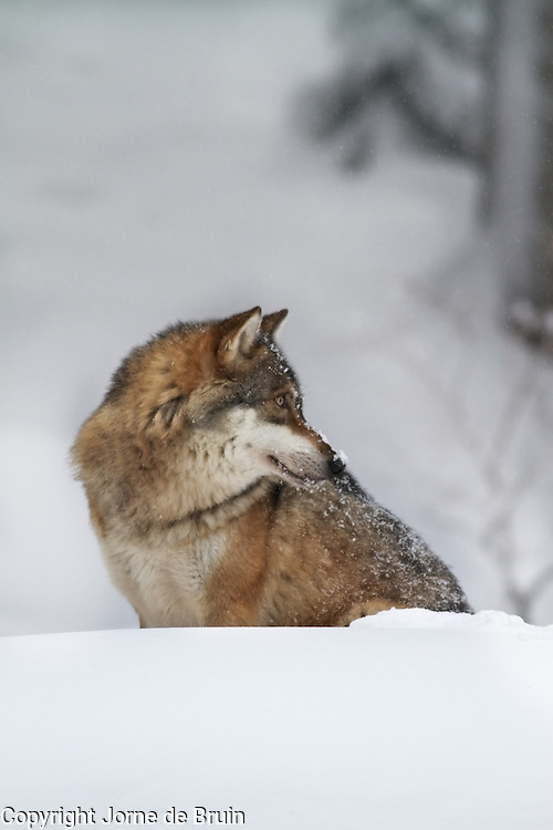 A wolf is sitting in the snow in the wildlifepark of the Bavarian Forest.